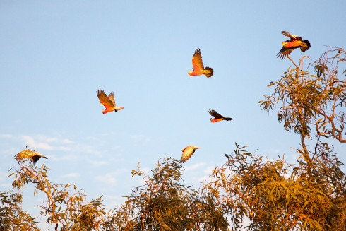 Galahs at Sunset - photo by Tim Froling