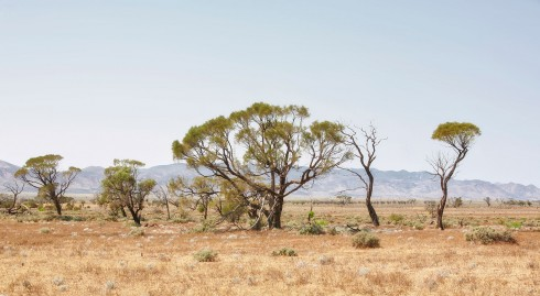Mulga Trees - photo by Tim Froling