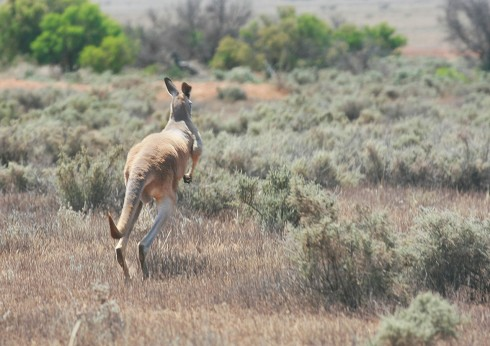 Red Kangaroo on the go - photo by Tim Froling
