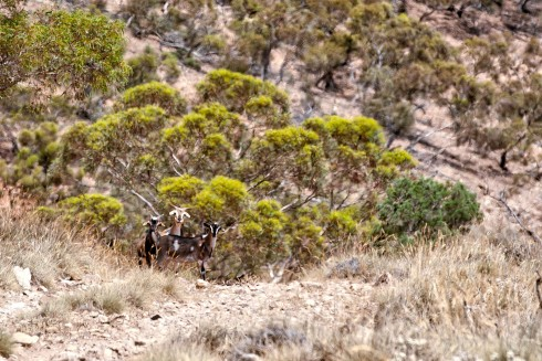 Feral Goats on the Heysen Trail - photo by Tim Froling